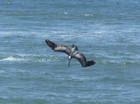 Watch diving pelicans from our beach